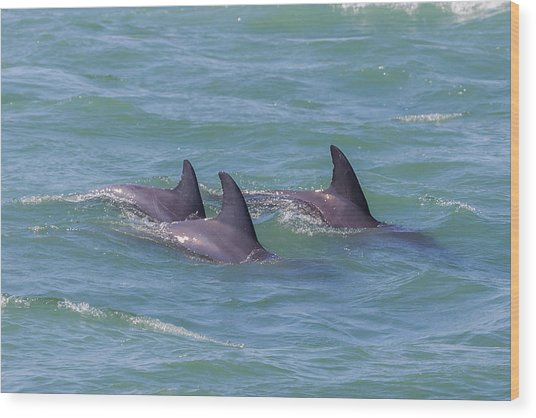 Dolphin Trio Wood Print
