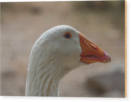 Domestic Goose Wood Print