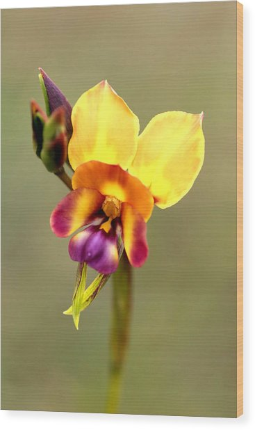 Donkey Orchid Wood Print by Tony Brown