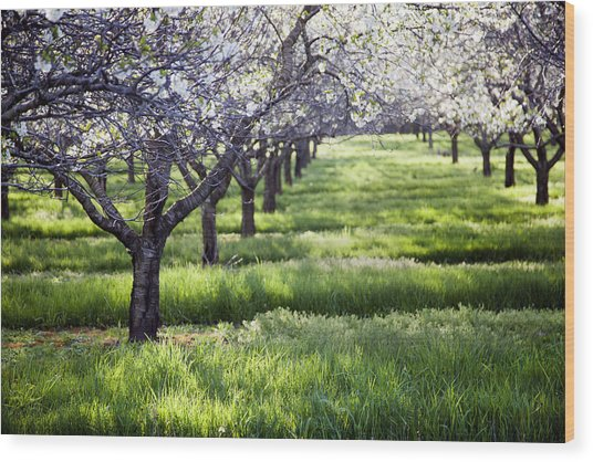 Door County Cherry Blossoms Wood Print