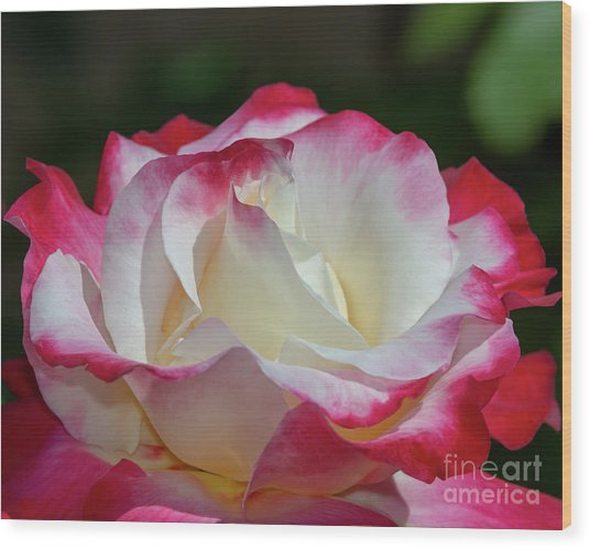 Double Delight Rose 1 Wood Print