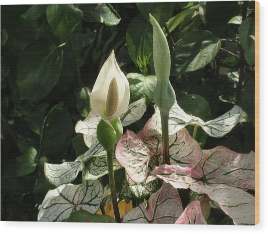 Double Happiness Caladium Wood Print by Kathy Daxon