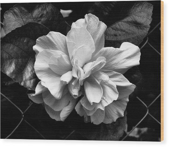 Double Hibiscus Flower Black White Print Wood Print by Kathy Daxon