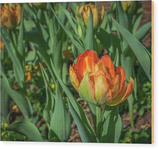 Double Multicolor Tulips Wood Print