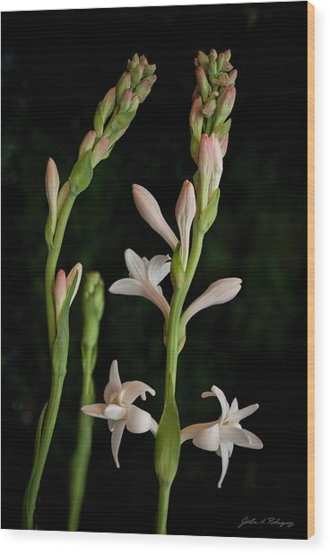 Double Tuberose In Bloom #2 Wood Print