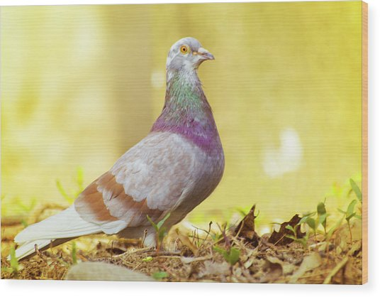 Dove  Standing Close Up Wood Print