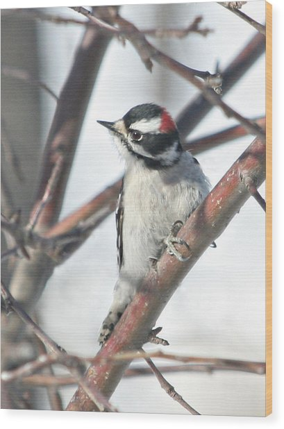 Downy Woodpecker In An Apple Tree Wood Print by Laurie With
