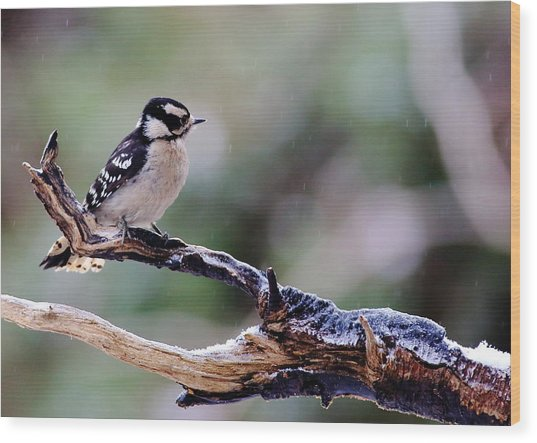 Wood Print featuring the photograph Downy Woodpecker With Snow by Daniel Reed