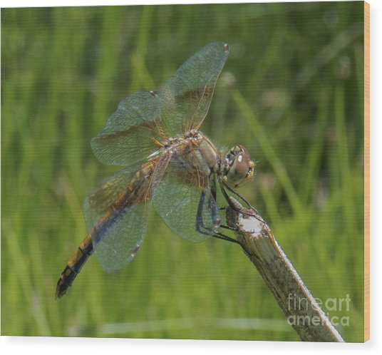 Dragonfly 8 Wood Print