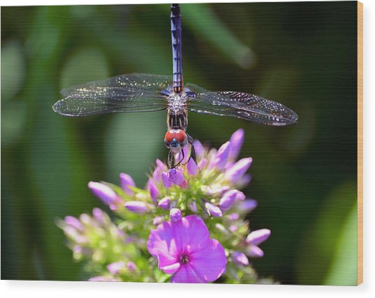 Dragonfly And Phlox Wood Print