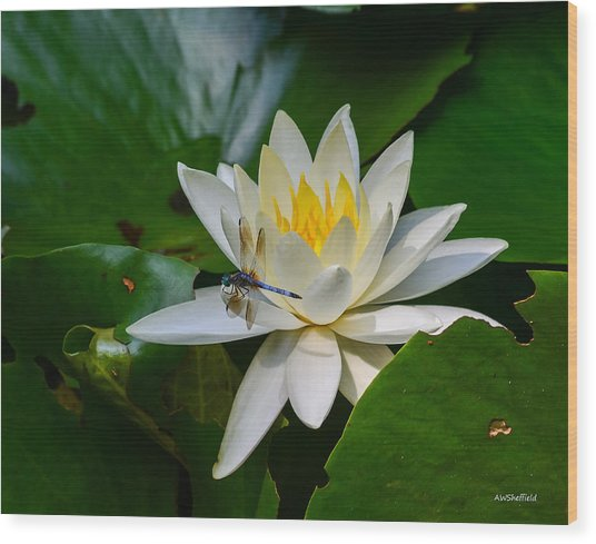Dragonfly On Waterlily  Wood Print