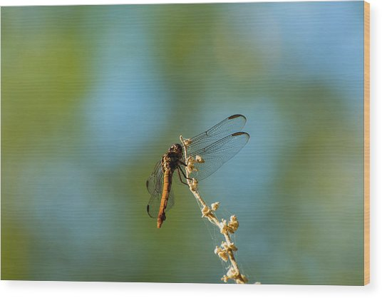 Dragonfly Wings Wood Print