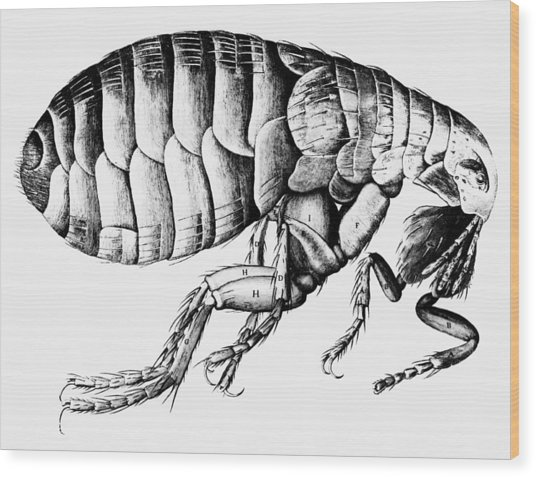 Drawing Of A Flea Wood Print by