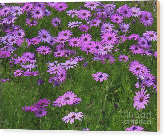 Dreaming Of Purple Daisies  Wood Print