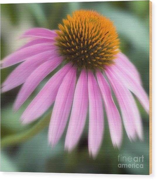 Dreamy Coneflower Wood Print by Jeannie Burleson