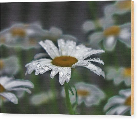 Droplets On Daisies Wood Print by Emily Michaud