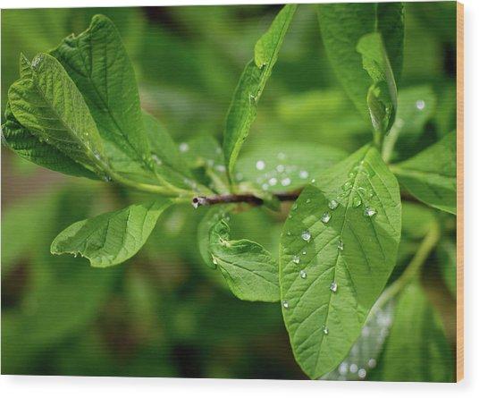Droplets On Spring Leaves Wood Print