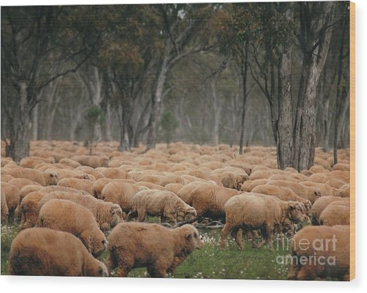 Droving Sheep  At Albert Australia Wood Print