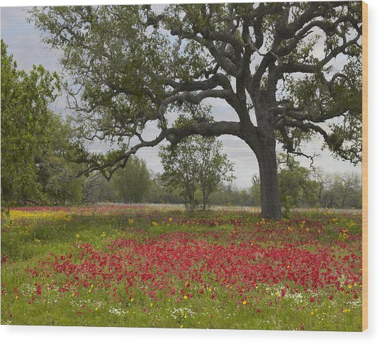 Drummonds Phlox Meadow Near Leming Texas Wood Print