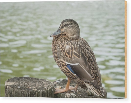 Duck By The Pond Wood Print