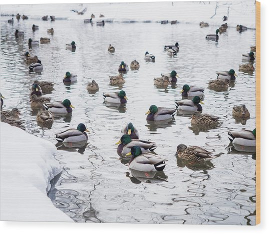 Ducks Swimming By Snowy Shore Wood Print