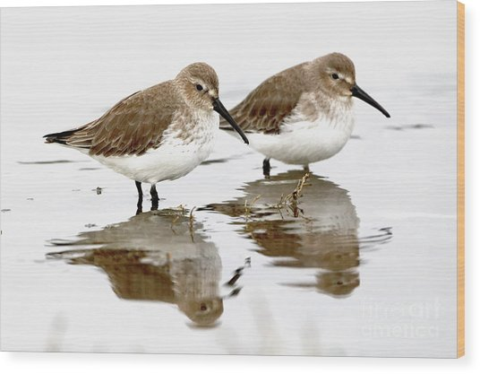 Dunlin Seeing Double Wood Print