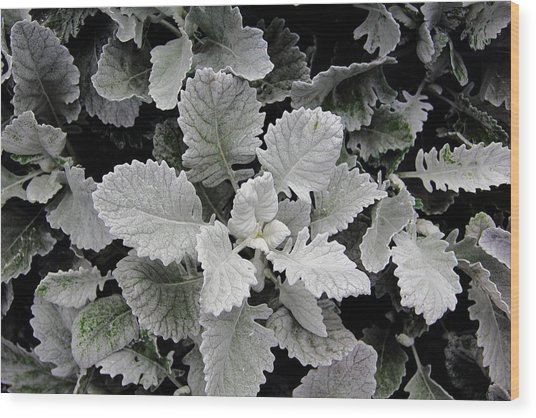 Dusty Miller Wood Print