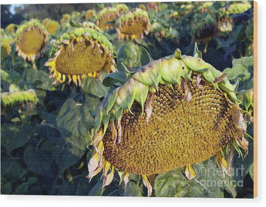 Dying Sunflowers In Field Wood Print by Sami Sarkis