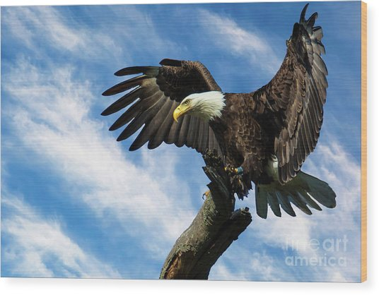 Eagle Landing On A Branch Wood Print