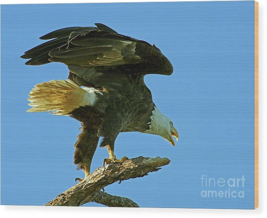Eagle Mom, The Scolding Wood Print