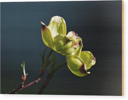 Early Dogwood Blossoms Wood Print