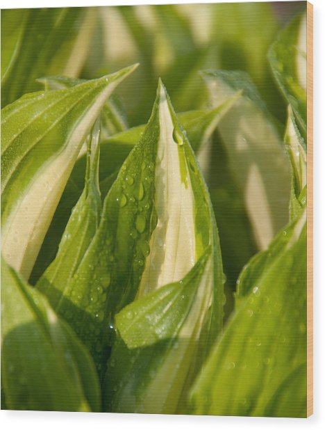 Early Hosta Wood Print by Charlet Simmelink