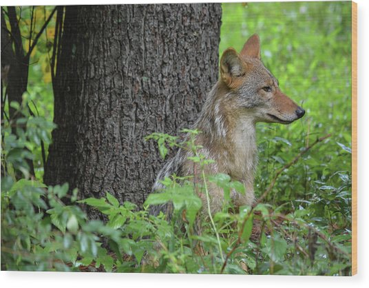 Early Morning Coyote In Maine Wood Print