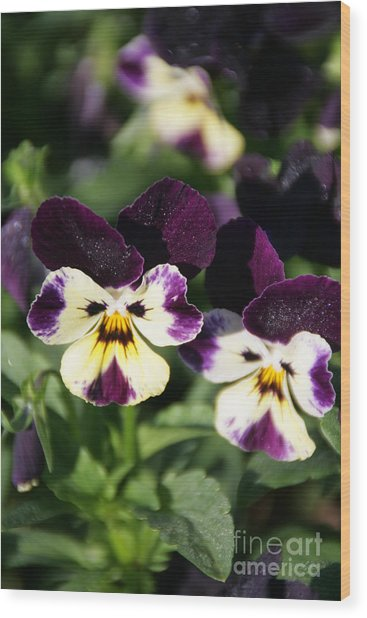 Early Morning Pansies Wood Print