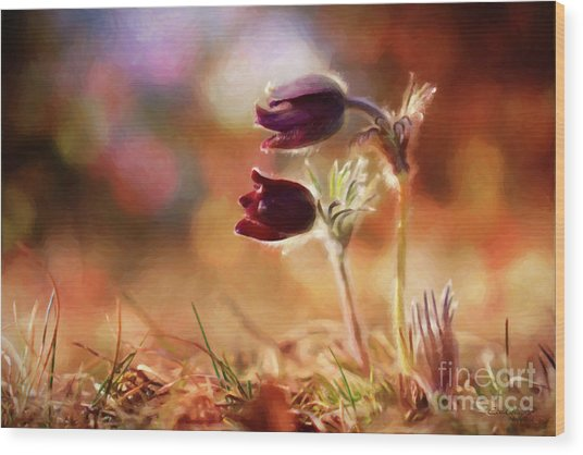 Early Morning Purple Pasque Wood Print