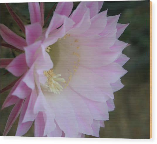 Easter Lily Cactus East Wood Print