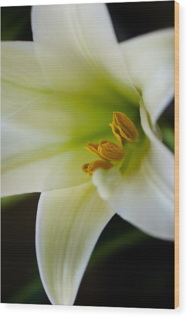 Easter Lily Color Wood Print by Edward Myers