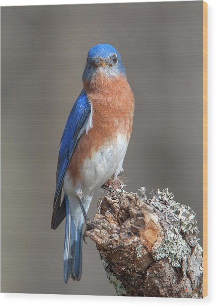 Eastern Bluebird Dsb0300 Wood Print