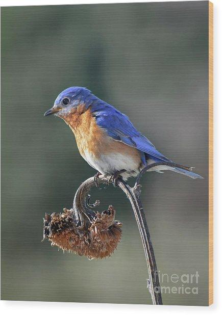 Eastern Bluebird In Spring Wood Print