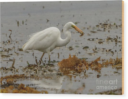 Eastern Great Egret 10 Wood Print