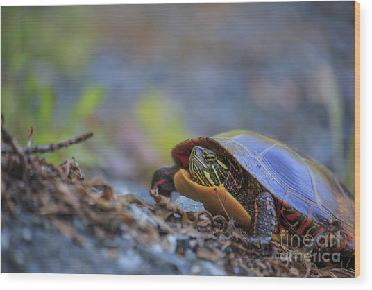 Eastern Painted Turtle Chrysemys Picta Wood Print