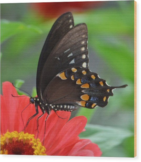 Eastern Swallowtail Wood Print