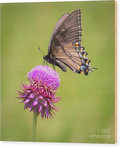 Eastern Tiger Swallowtail Dark Form  Wood Print