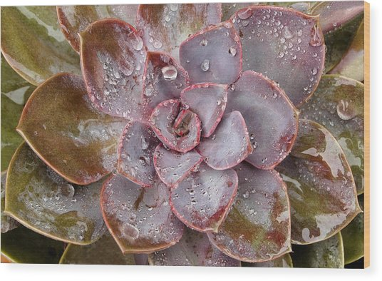 Echeveria Wood Print
