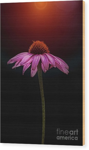 Echinacea And Sun Wood Print