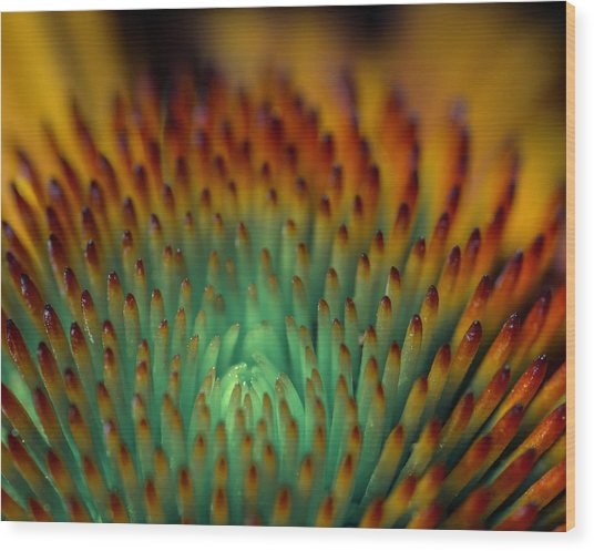 Echinacea Macro Wood Print