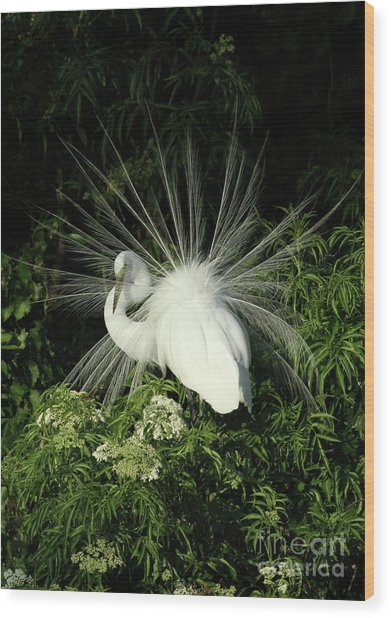 Egret Fan Dancer Wood Print