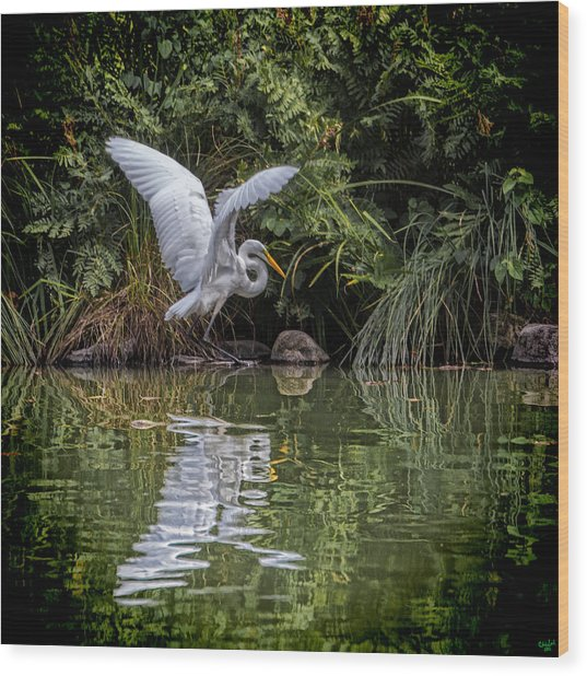 Egret Hunting For Lunch Wood Print
