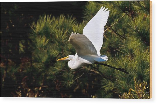 Egret In Flight 1 Wood Print