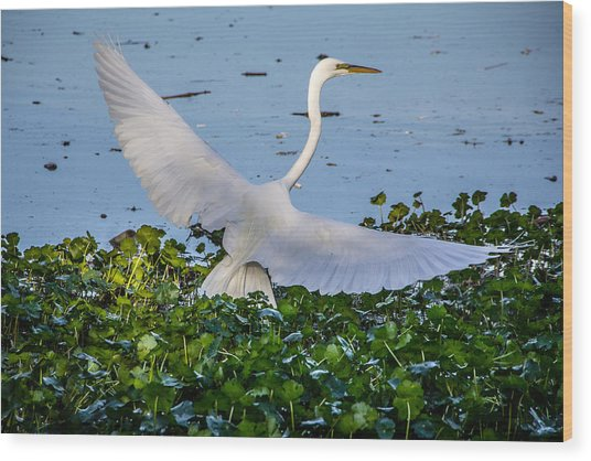 Egret With Wings Spread Wood Print